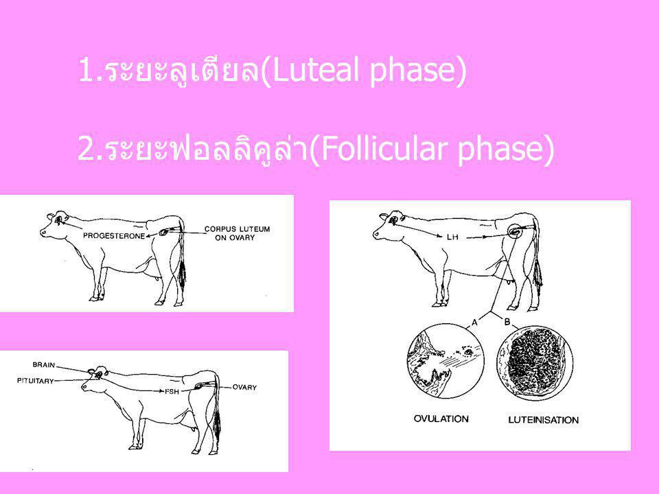1.ระยะลูเตียล(Luteal phase)