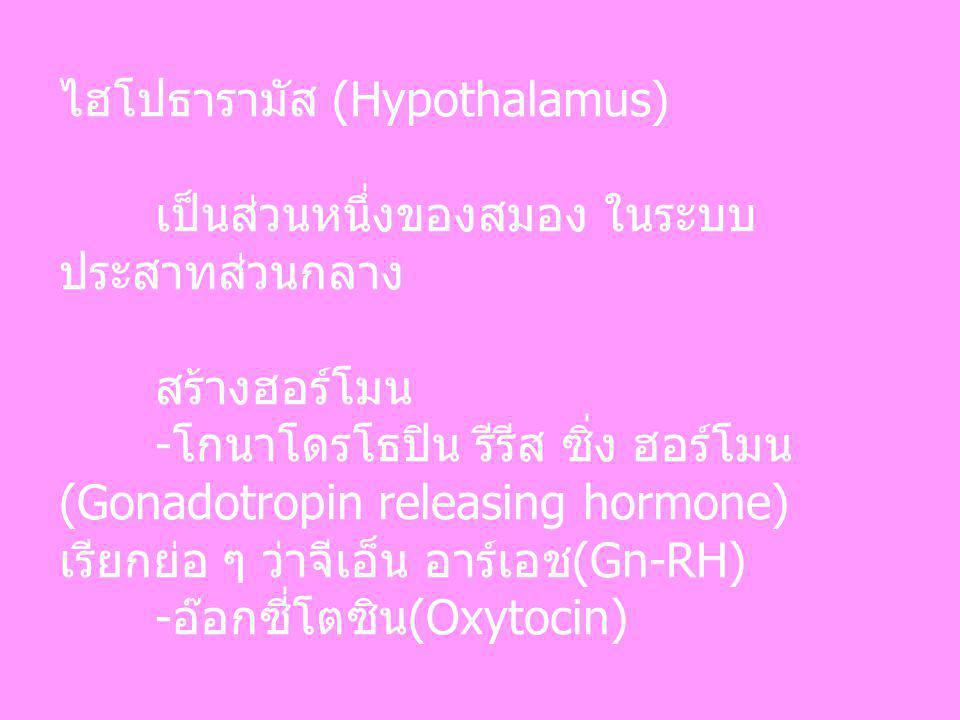 ไฮโปธารามัส (Hypothalamus)