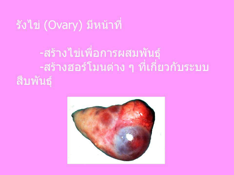 รังไข่ (Ovary) มีหน้าที่