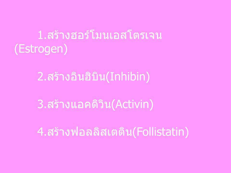 1.สร้างฮอร์โมนเอสโตรเจน (Estrogen)