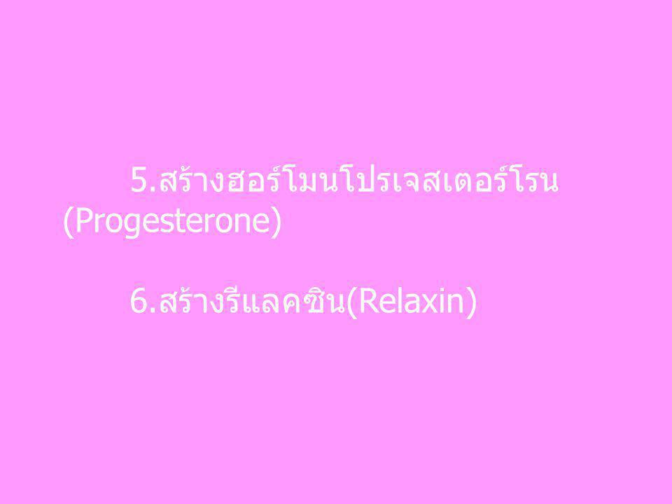 5.สร้างฮอร์โมนโปรเจสเตอร์โรน(Progesterone)
