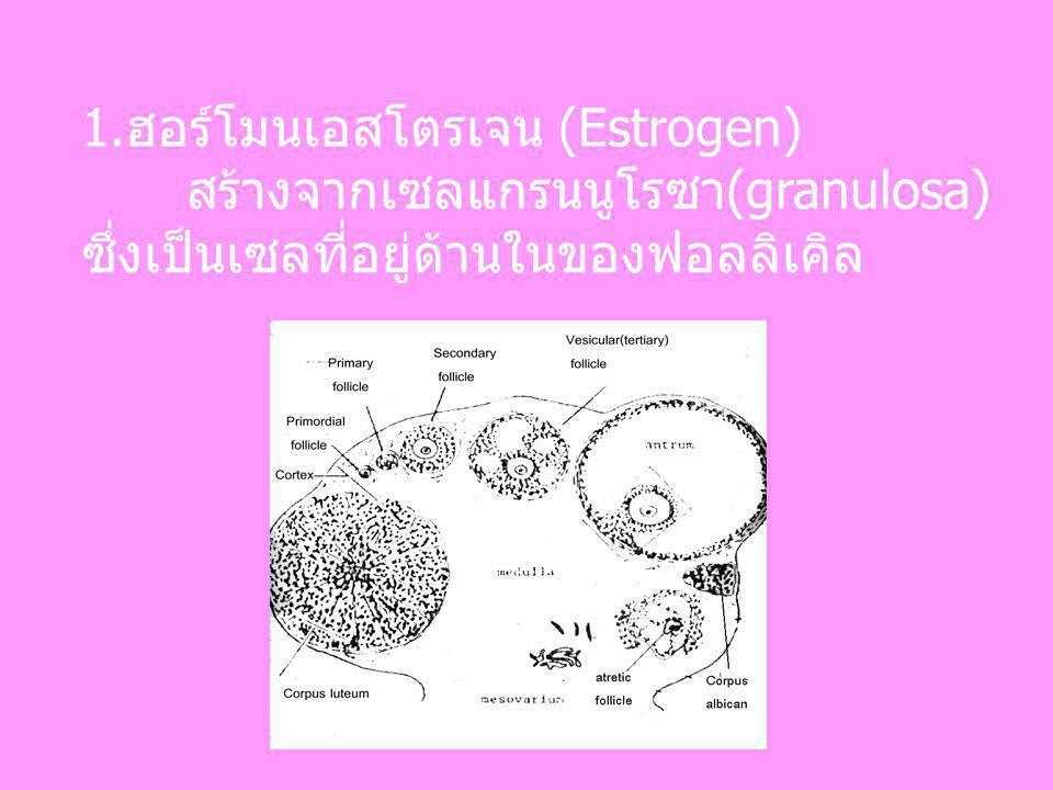 1.ฮอร์โมนเอสโตรเจน (Estrogen)
