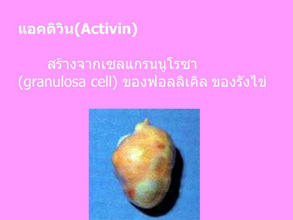 แอคติวิน(Activin) สร้างจากเซลแกรนนูโรซา (granulosa cell) ของฟอลลิเคิล ของรังไข่