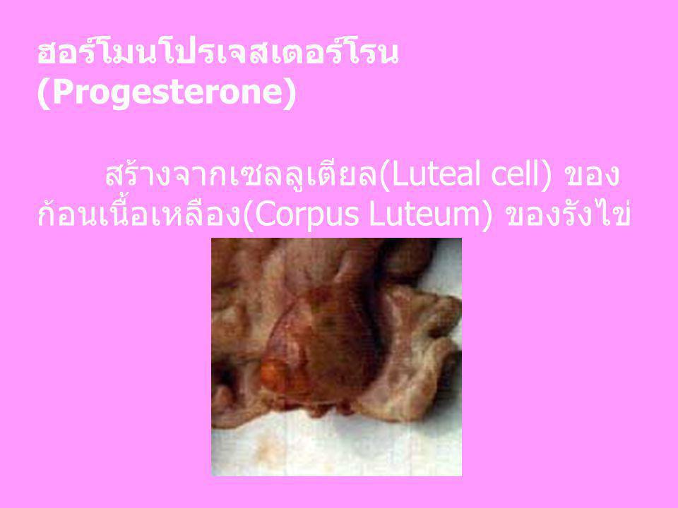 ฮอร์โมนโปรเจสเตอร์โรน(Progesterone)