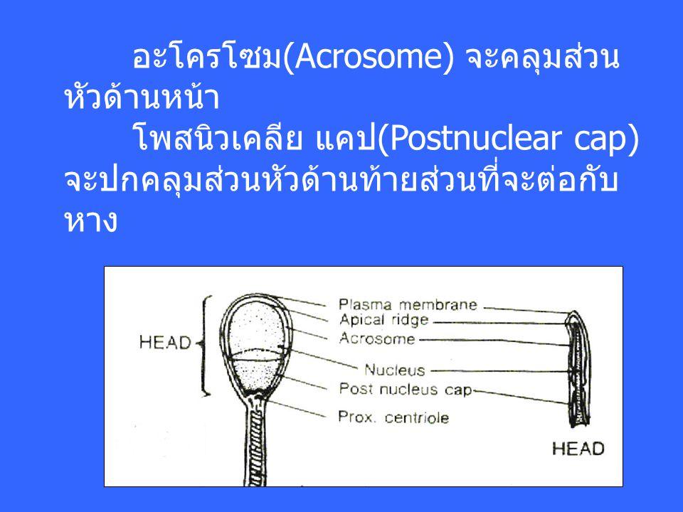 อะโครโซม(Acrosome) จะคลุมส่วนหัวด้านหน้า