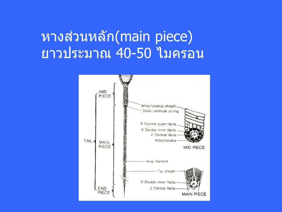 หางส่วนหลัก(main piece)