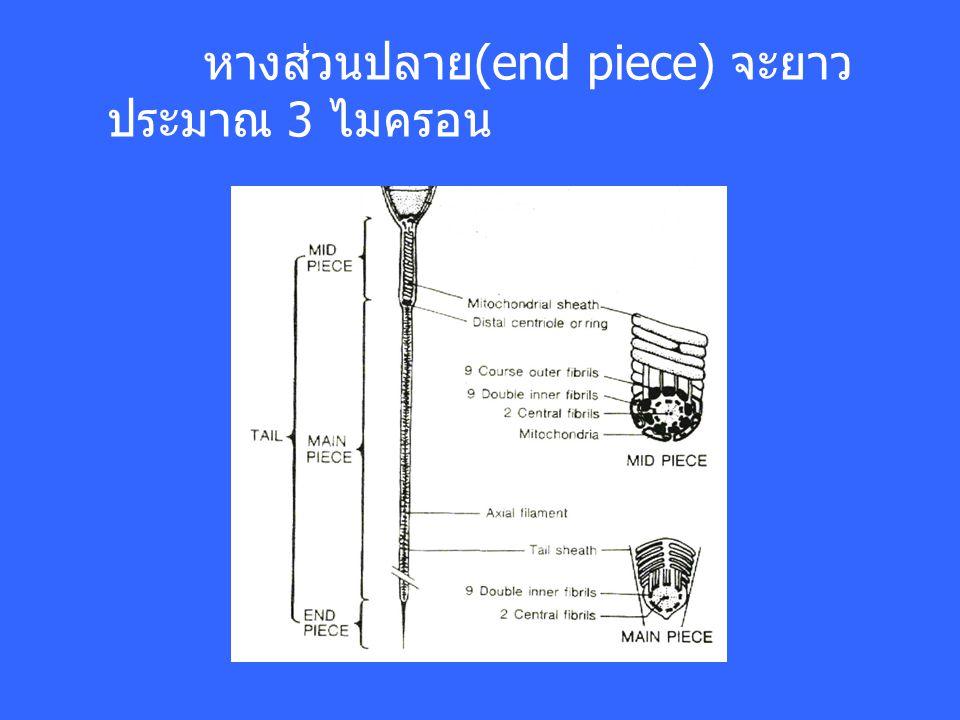 หางส่วนปลาย(end piece) จะยาวประมาณ 3 ไมครอน