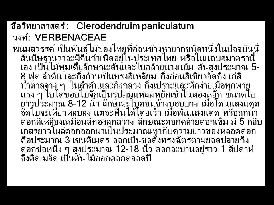 ชื่อวิทยาศาสตร์ : Clerodendruim paniculatum
