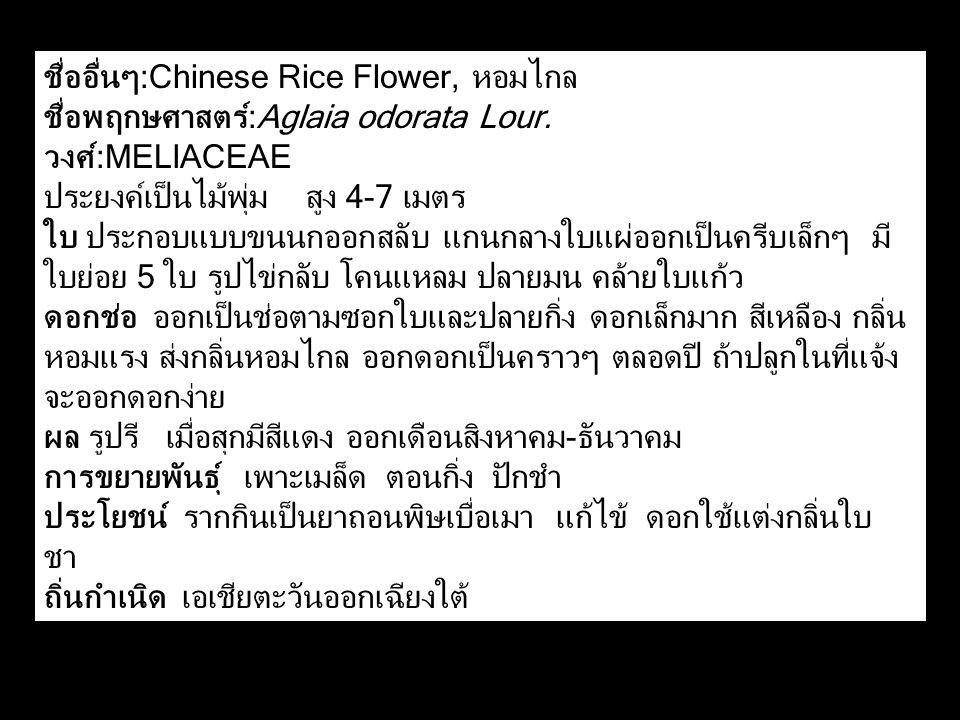 ชื่ออื่นๆ:Chinese Rice Flower, หอมไกล