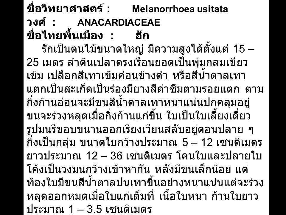 ชื่อวิทยาศาสตร์ : Melanorrhoea usitata
