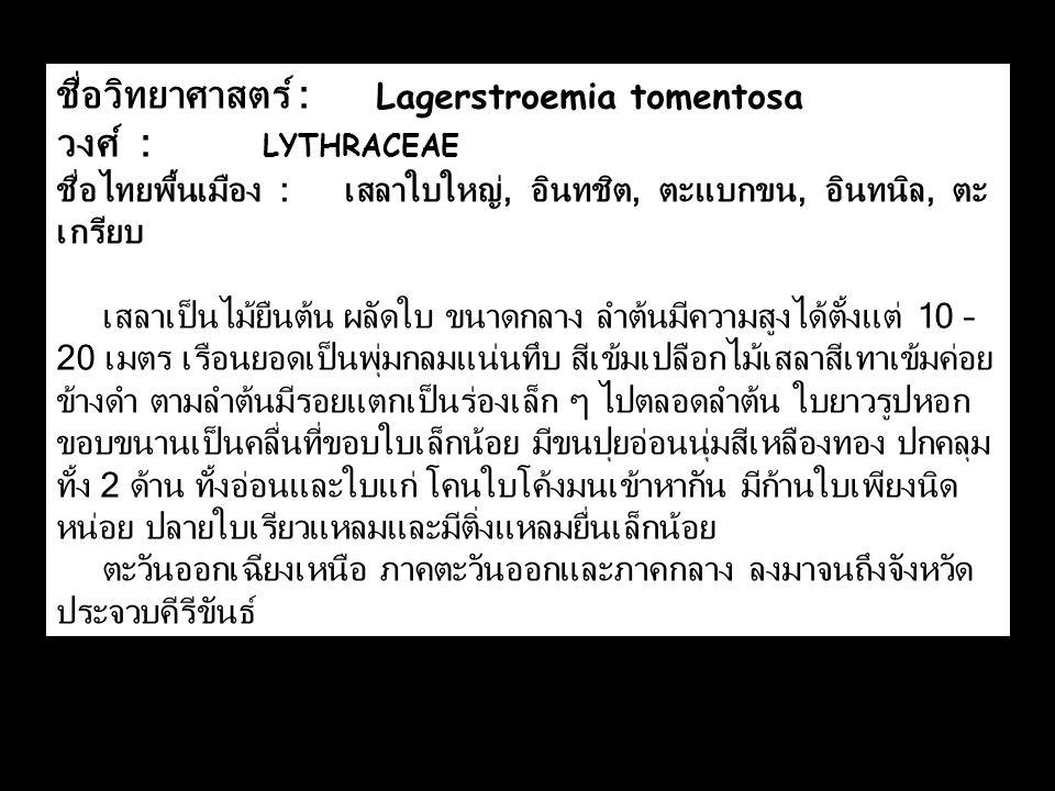 ชื่อวิทยาศาสตร์ : Lagerstroemia tomentosa วงศ์ : LYTHRACEAE