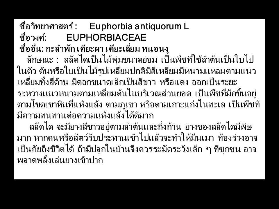 ชื่อวิทยาศาสตร์ : Euphorbia antiquorum L ชื่อวงศ์: EUPHORBIACEAE