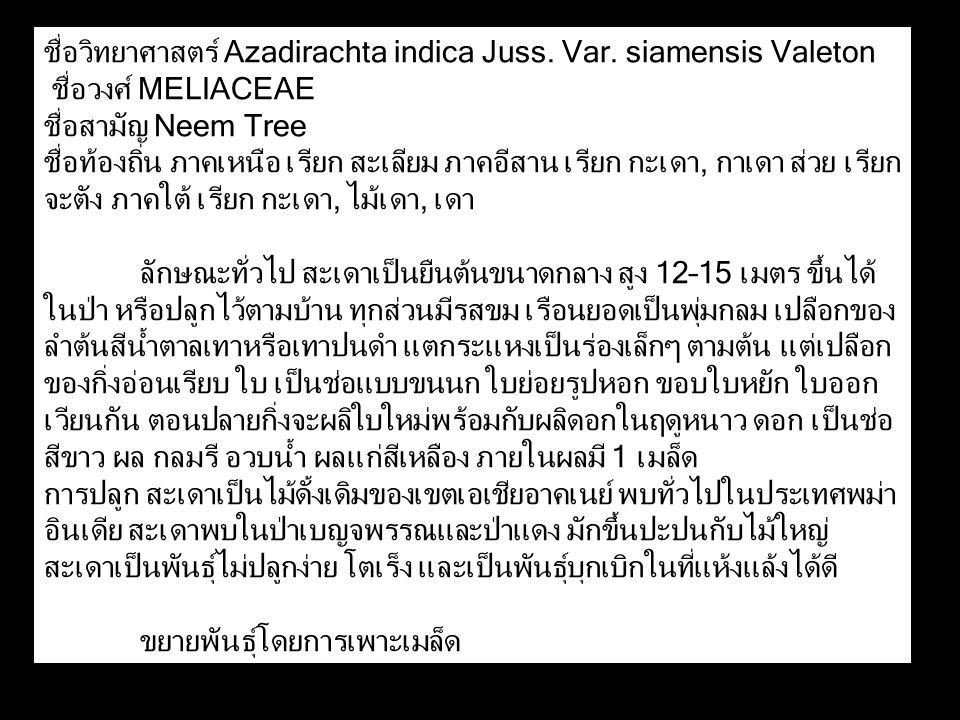 ชื่อวิทยาศาสตร์ Azadirachta indica Juss. Var. siamensis Valeton