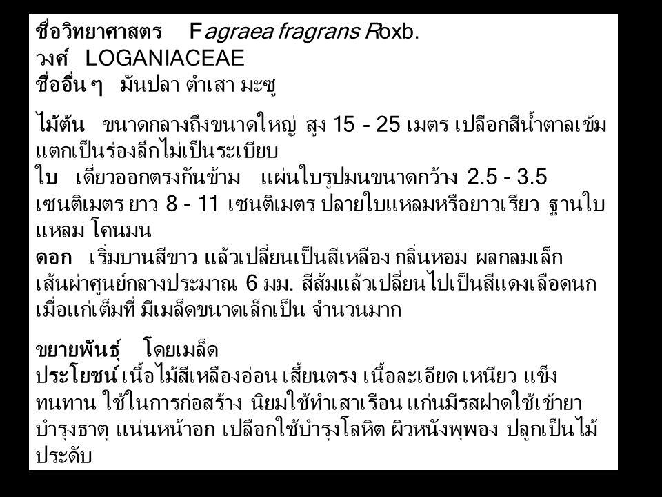 ชื่อวิทยาศาสตร Fagraea fragrans Roxb