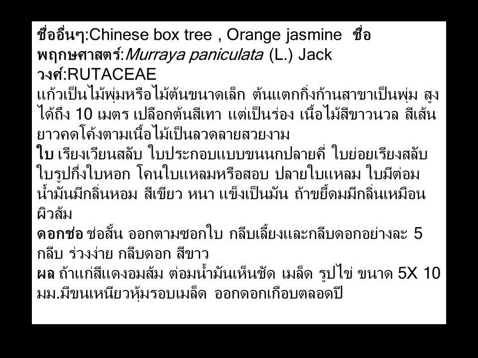 ชื่ออื่นๆ:Chinese box tree , Orange jasmine ชื่อพฤกษศาสตร์:Murraya paniculata (L.) Jack วงศ์:RUTACEAE