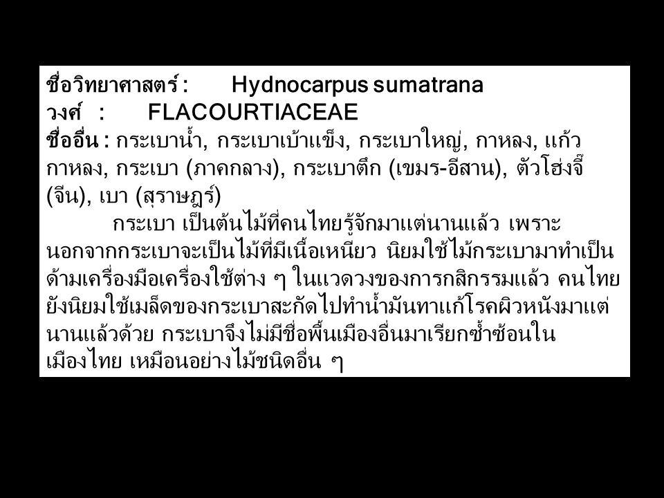 ชื่อวิทยาศาสตร์ : Hydnocarpus sumatrana