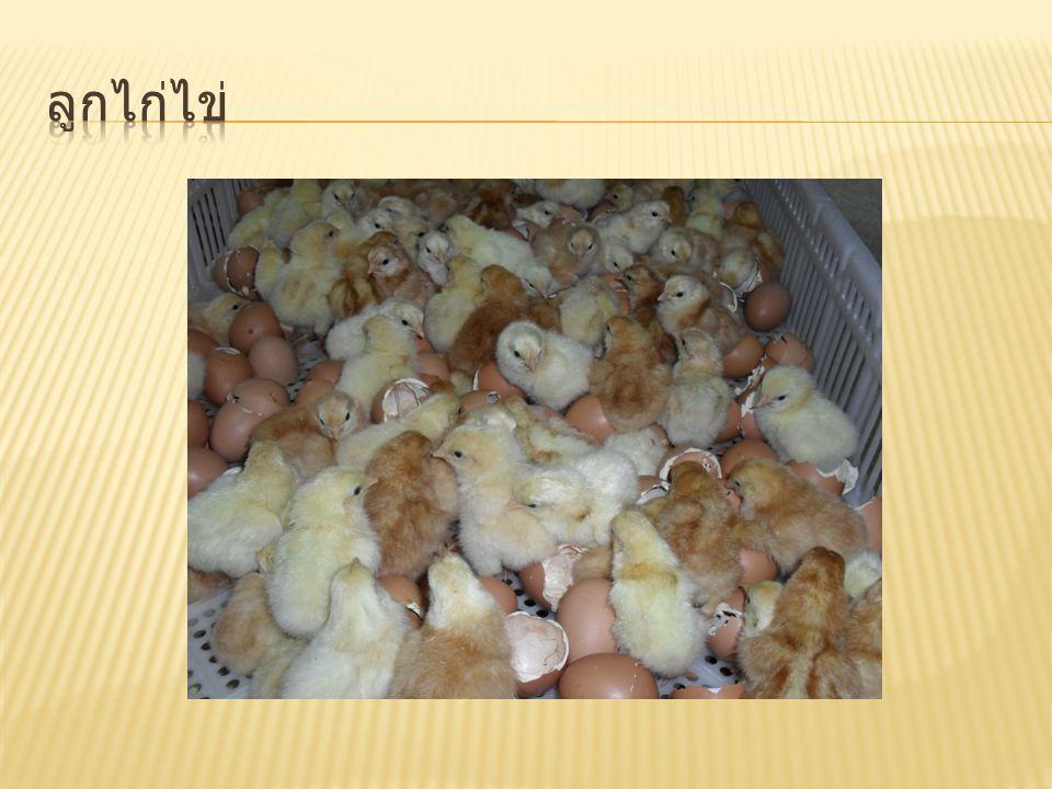 ลูกไก่ไข่