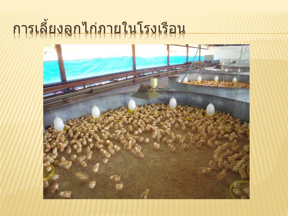 การเลี้ยงลูกไก่ภายในโรงเรือน
