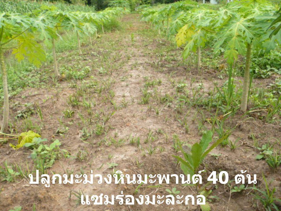 ปลูกมะม่วงหินมะพานต์ 40 ต้นแซมร่องมะละกอ