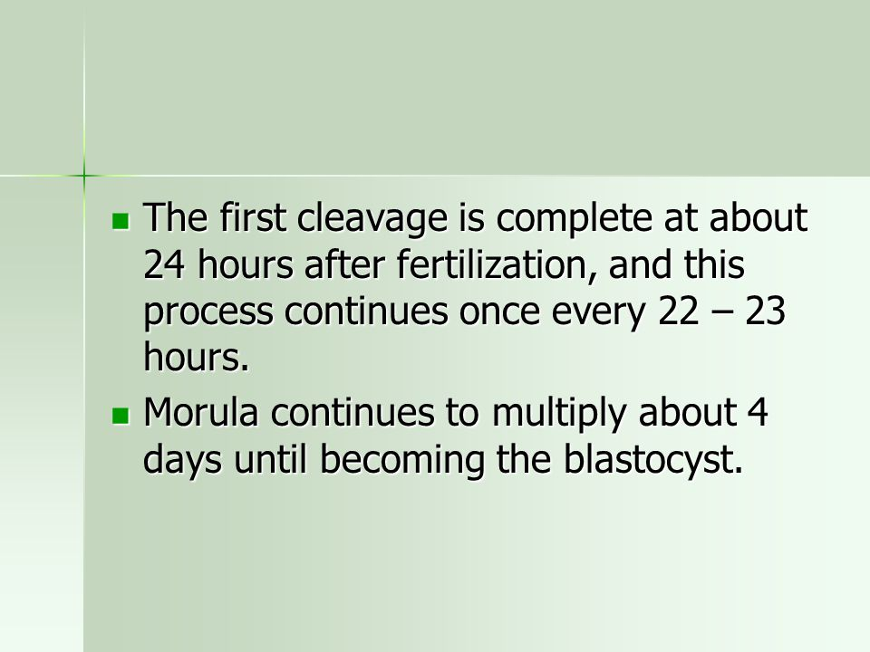 The first cleavage is complete at about 24 hours after fertilization, and this process continues once every 22 – 23 hours.