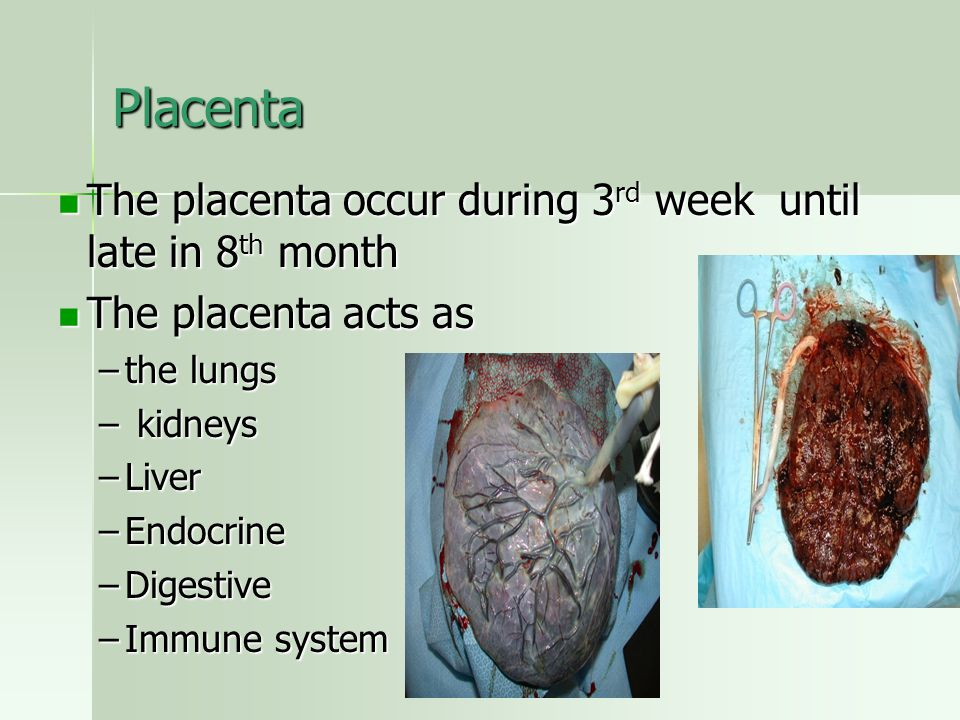 Placenta The placenta occur during 3rd week until late in 8th month