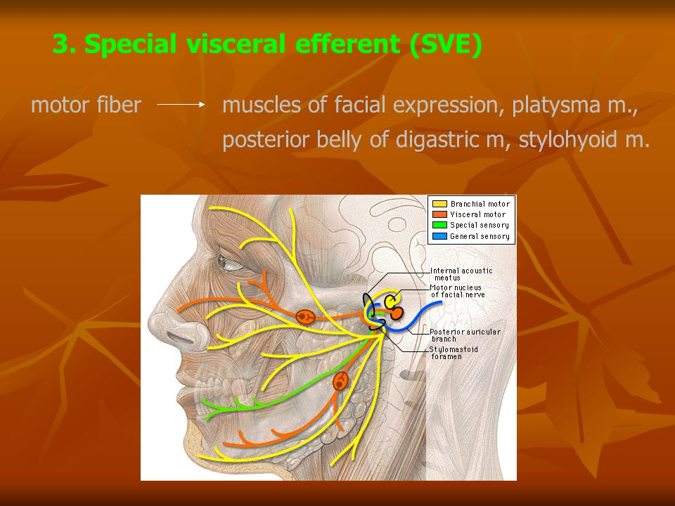 3. Special visceral efferent (SVE)