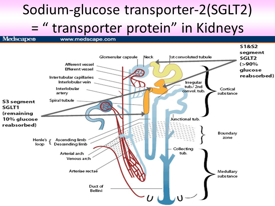 Sodium-glucose transporter-2(SGLT2) = transporter protein in Kidneys