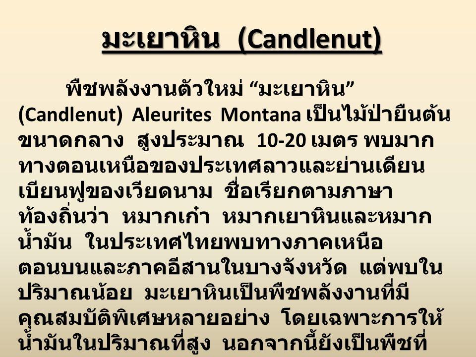 มะเยาหิน (Candlenut)