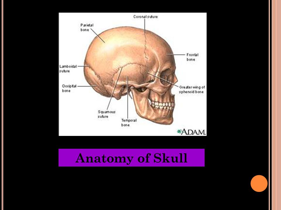 Anatomy of Skull
