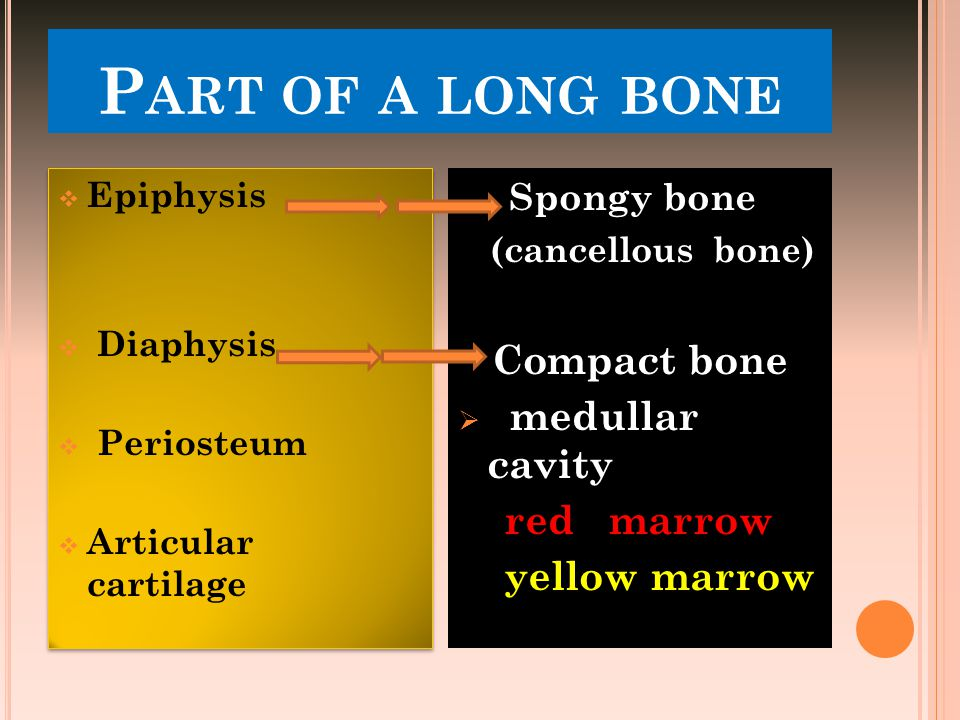 Part of a long bone Compact bone medullar cavity red marrow