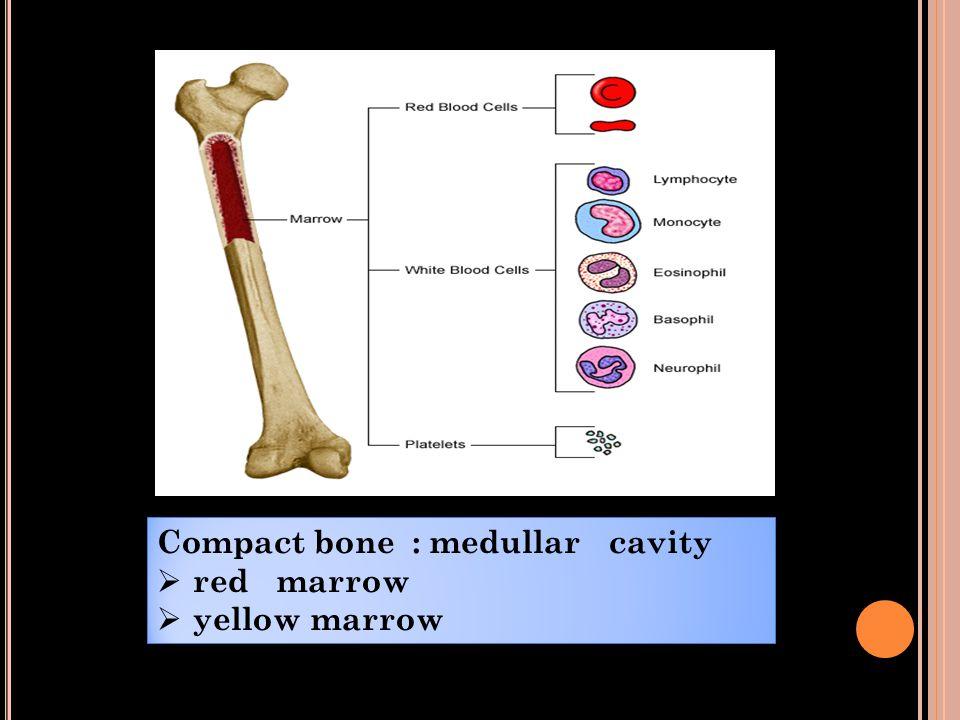 Compact bone : medullar cavity