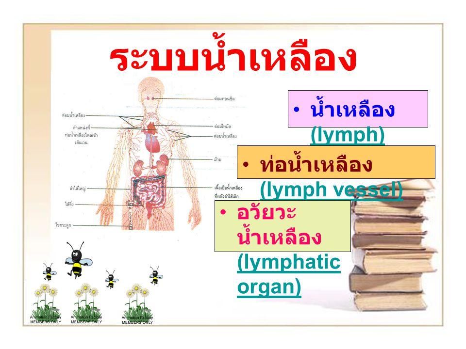 ระบบน้ำเหลือง น้ำเหลือง (lymph) ท่อน้ำเหลือง (lymph vessel)