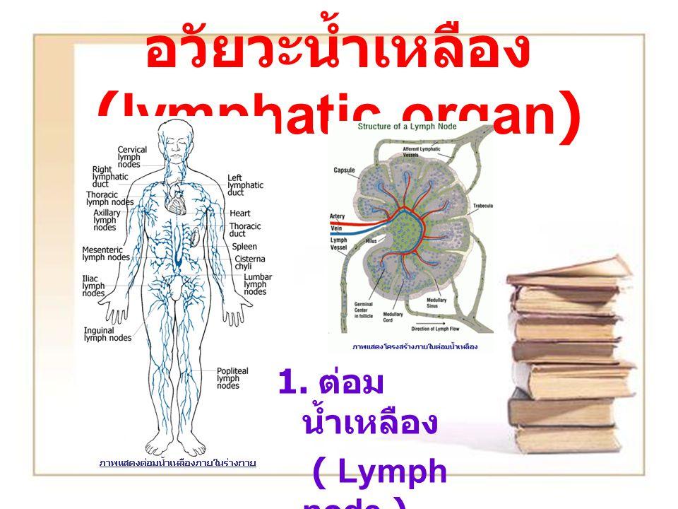 อวัยวะน้ำเหลือง (lymphatic organ)