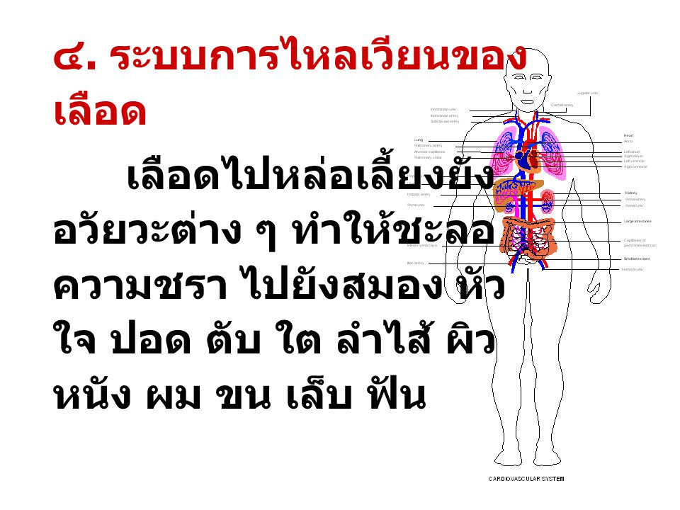 ๔. ระบบการไหลเวียนของเลือด