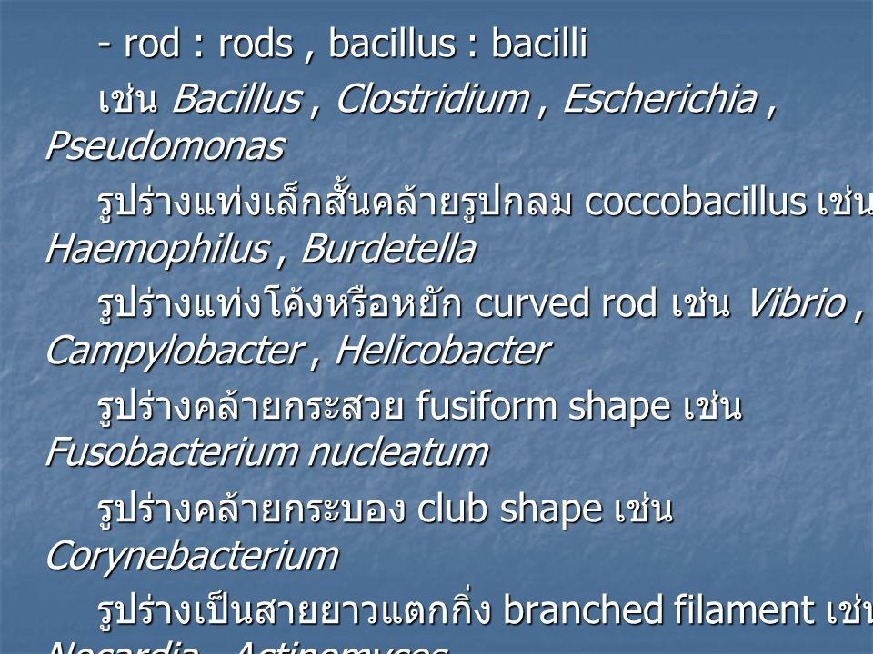 - rod : rods , bacillus : bacilli