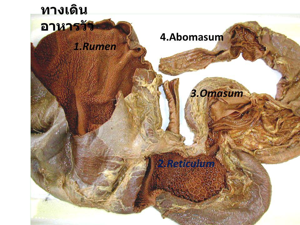 ทางเดินอาหารวัว 4.Abomasum 1.Rumen 3.Omasum 2.Reticulum