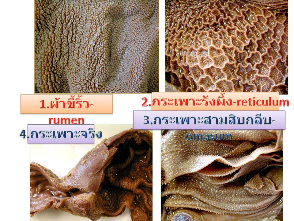 2.กระเพาะรังผึ้ง-reticulum 3.กระเพาะสามสิบกลีบ-omasum