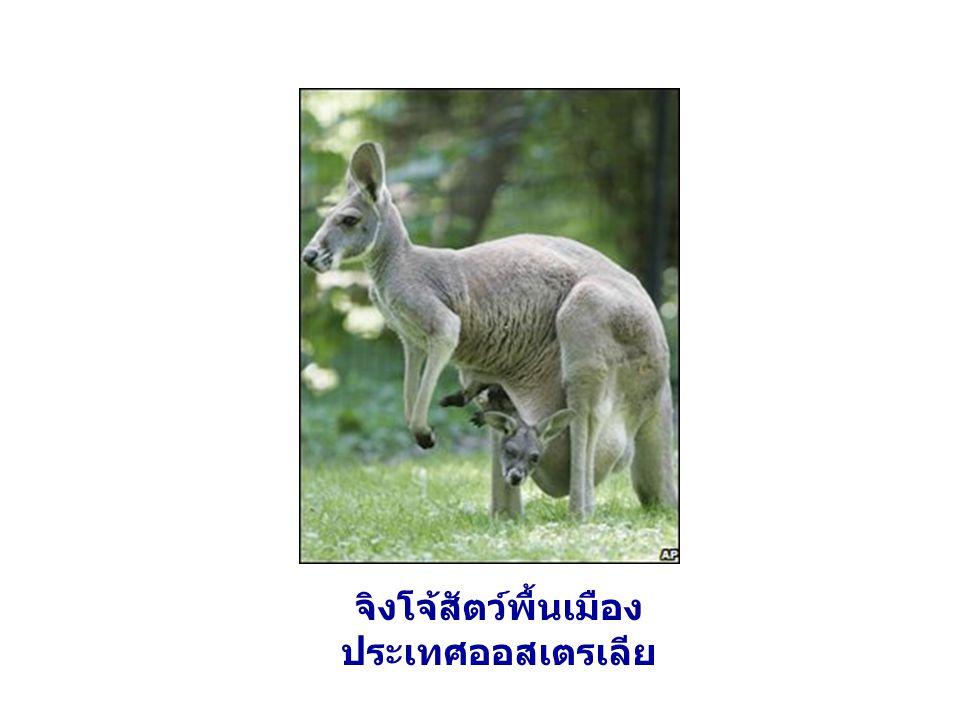 จิงโจ้สัตว์พื้นเมืองประเทศออสเตรเลีย