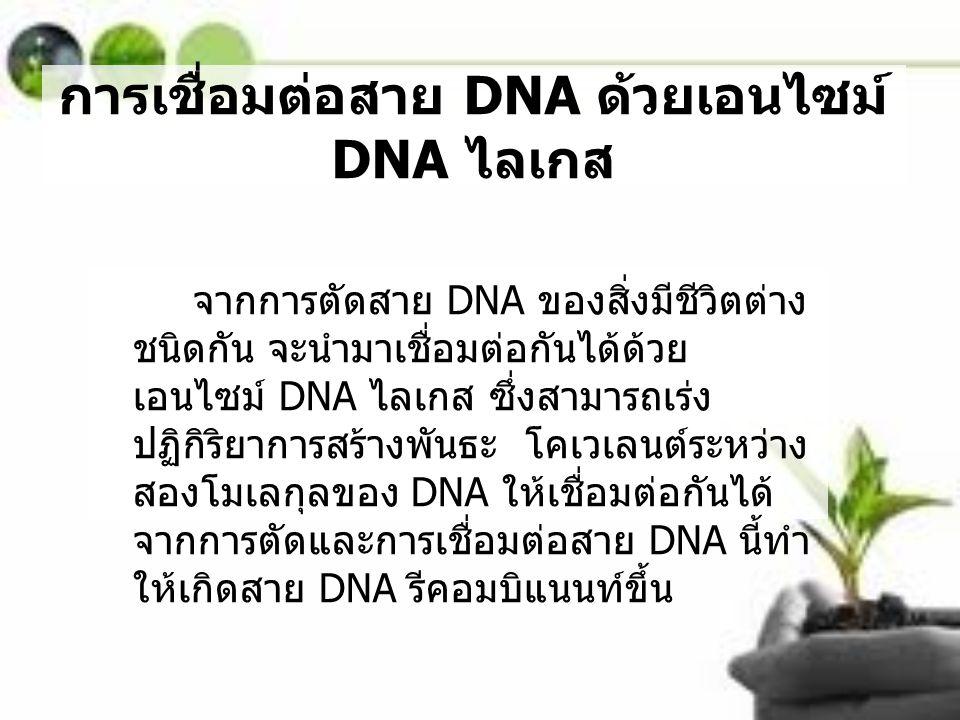 การเชื่อมต่อสาย DNA ด้วยเอนไซม์ DNA ไลเกส