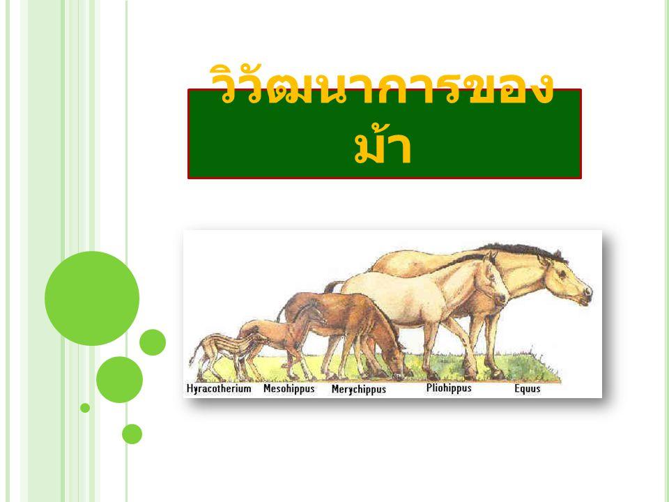 วิวัฒนาการของม้า