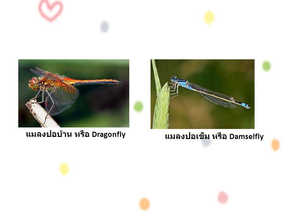 แมลงปอบ้าน หรือ Dragonfly