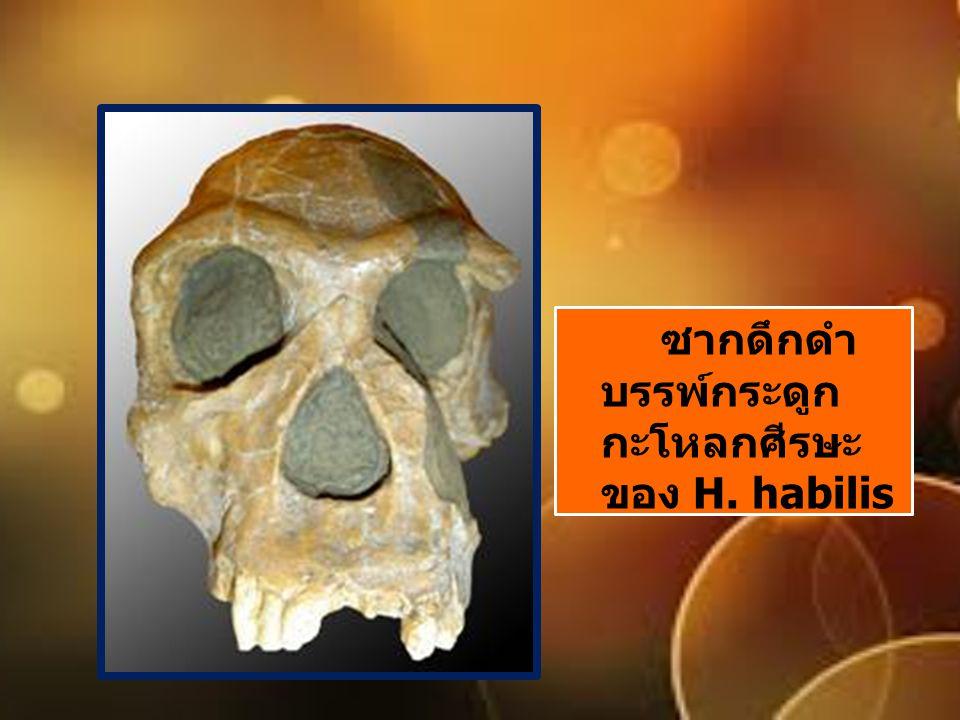 ซากดึกดำบรรพ์กระดูกกะโหลกศีรษะของ H. habilis