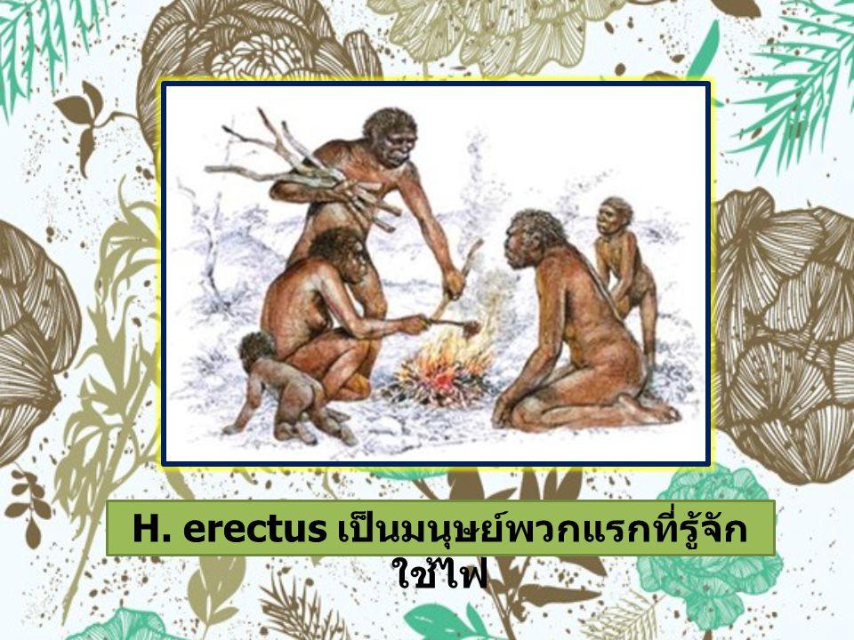 H. erectus เป็นมนุษย์พวกแรกที่รู้จักใช้ไฟ