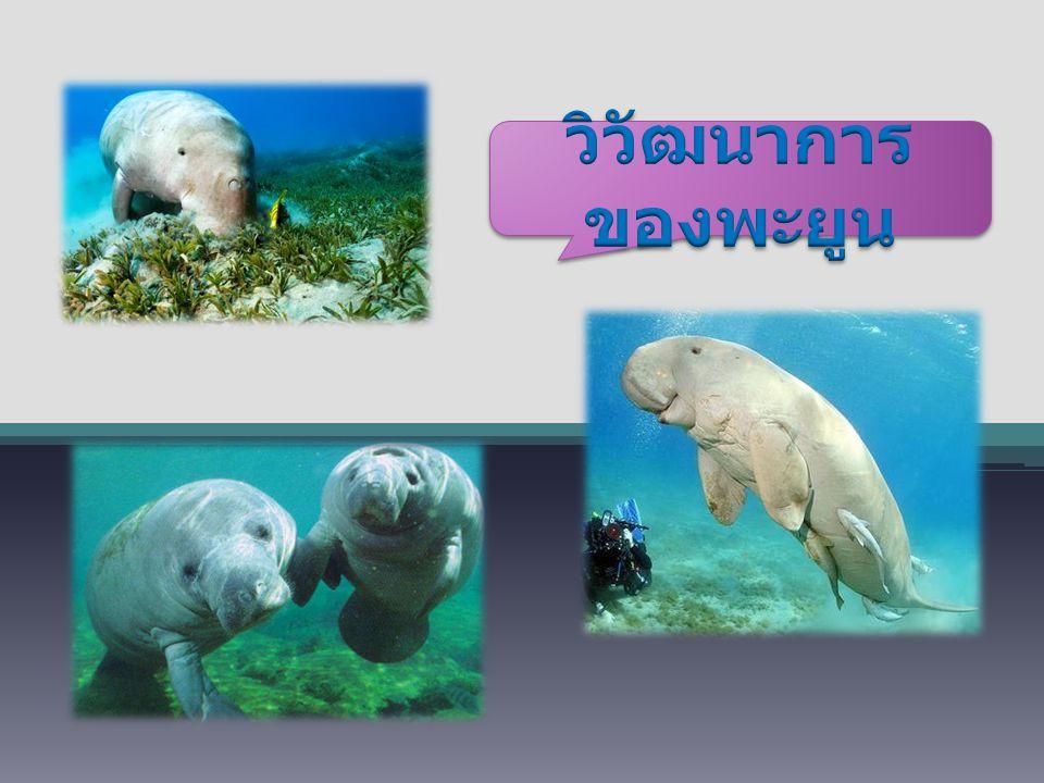 วิวัฒนาการของพะยูน