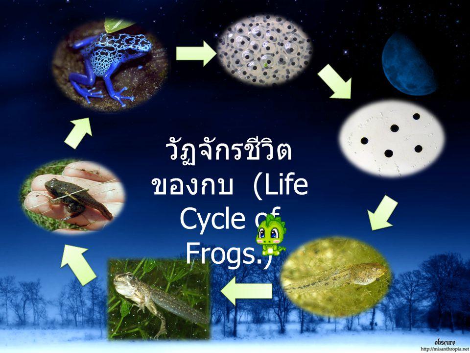 วัฏจักรชีวิตของกบ (Life Cycle of Frogs.)