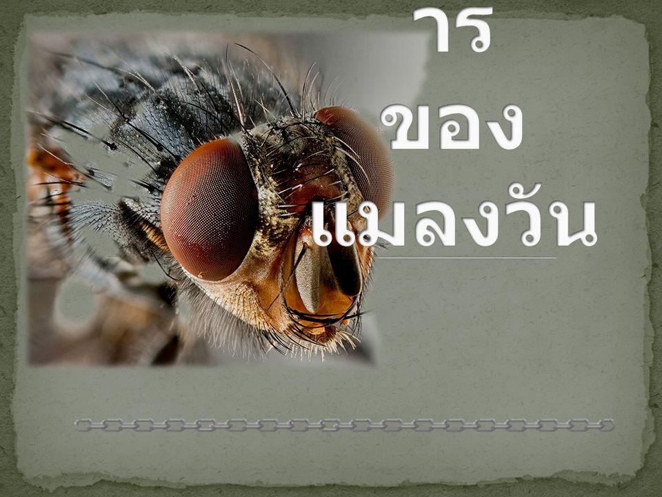 วิวัฒนาการ ของแมลงวัน