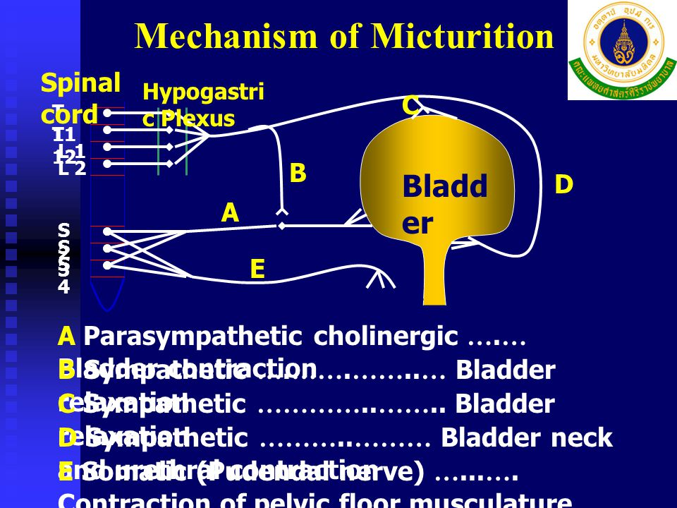 Mechanism of Micturition