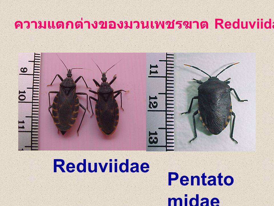 Reduviidae ความแตกต่างของมวนเพชรฆาต Reduviidae และ มวน Pentatomid