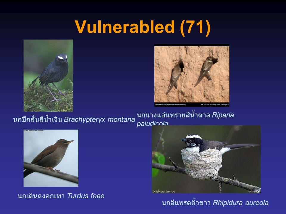 Vulnerabled (71) นกนางแอ่นทรายสีน้ำตาล Riparia paludicola