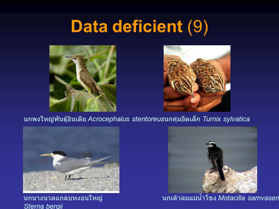 Data deficient (9) นกพงใหญ่พันธุ์อินเดีย Acrocephalus stentoreus